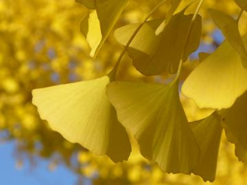 Ginkgo Biloba őszi sárga levelei