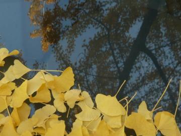 Halfarkfa ősszel