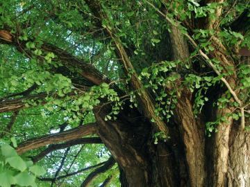 Idős fa