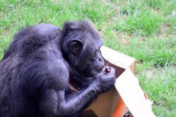 Megújult a csimpánzok otthona! 39