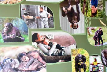 Megújult a csimpánzok otthona! 40