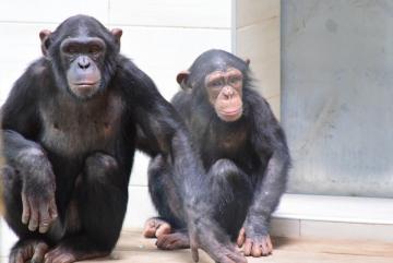 Megújult a csimpánzok otthona! 36