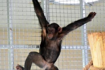 Megújult a csimpánzok otthona! 41