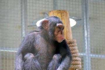 Megújult a csimpánzok otthona! 42