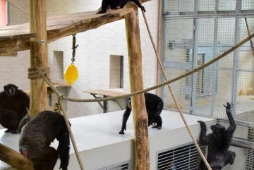 Megújult a csimpánzok otthona! 34