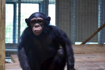 Megújult a csimpánzok otthona! 43