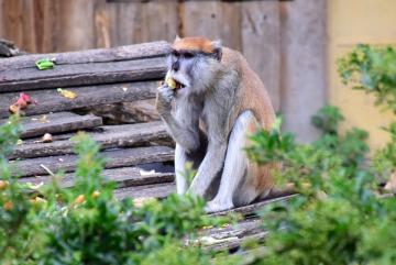 Megújult a csimpánzok otthona! 02