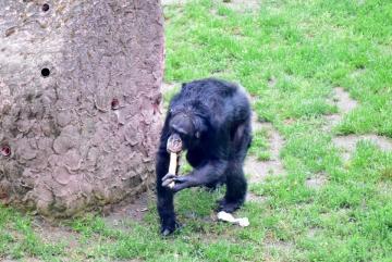 Megújult a csimpánzok otthona! 45