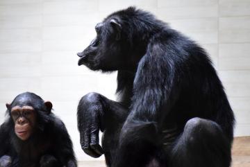 Megújult a csimpánzok otthona! 35