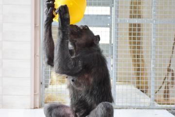 Megújult a csimpánzok otthona! 37