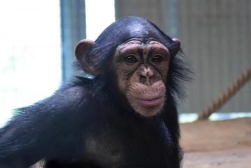 Megújult a csimpánzok otthona! 44