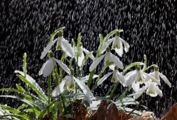 Szabó Béla:Hóvirág esővel